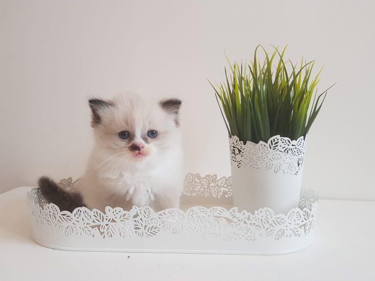 котята рэгдолл купить
