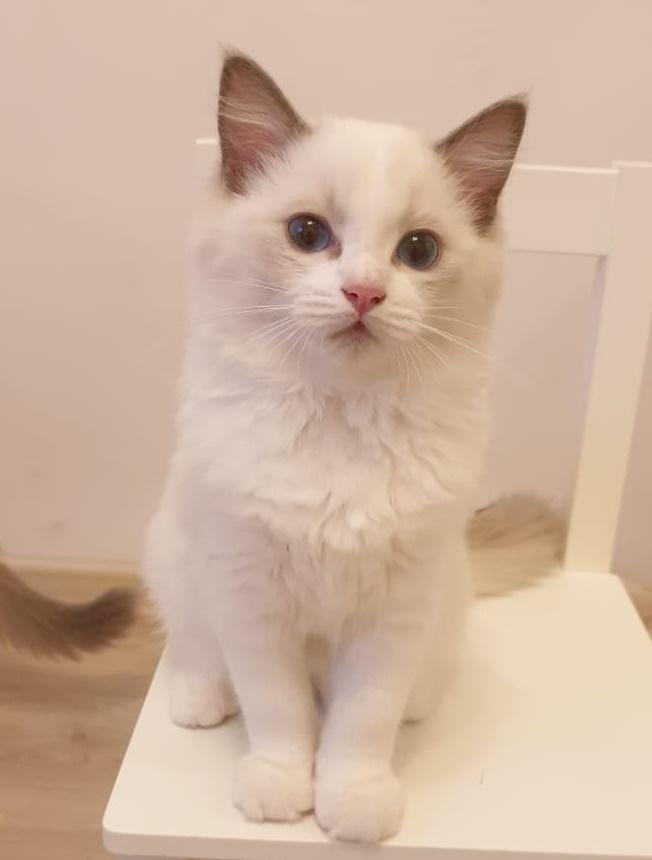 рэгдолл кошка купить