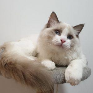 котята рэгдолл
