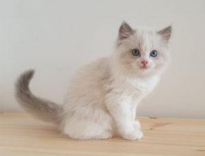 купить котенок рэгдолл