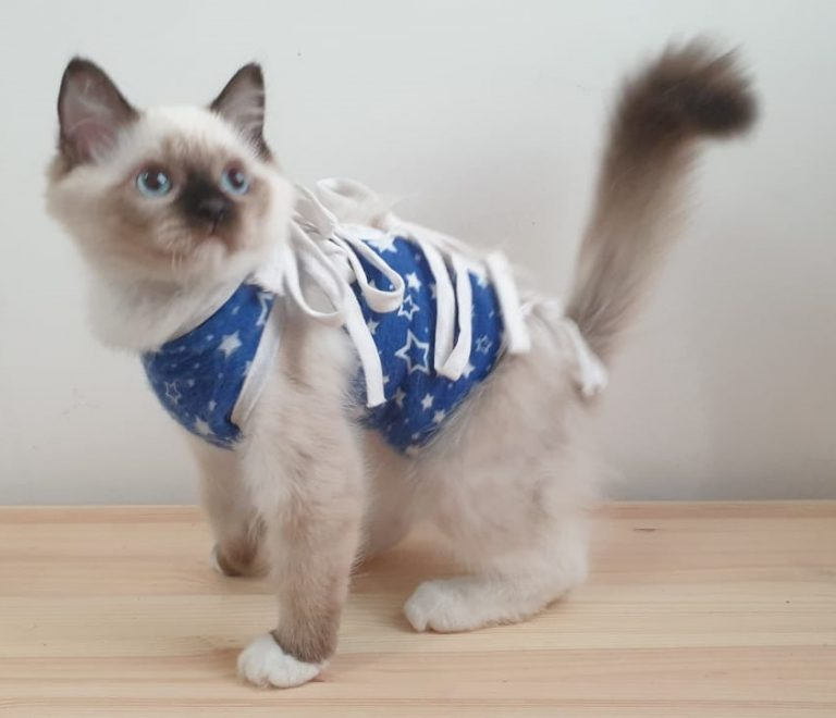 котята рэгдолл питомник