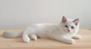 рэгдолл котёнок
