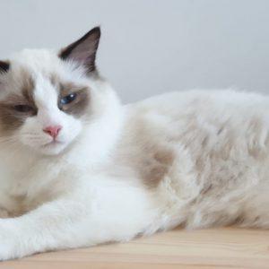 рэгдолл котенок
