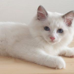 рэгдолл котята